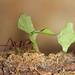 Fourmi coupe-feuilles / Cutterleaf ant