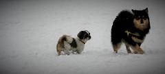 Rikku Oavan (Ilves) Lumilapsen (_Kemp_) Tags: rikku oavan snow lumilapsen ilves suomenlapinkoira finnish lapphund finse lappenhond
