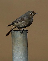 Black Redstart (f) (Jillandcamera) Tags: blackredstart donnanook lincs