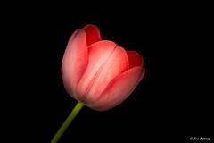 Tulip (joe petruz) Tags: nature tulip spring canon eos 650d black background light field flowers flower holland amsterdam italy exposure summer torino red rose green tulips flowering bulb