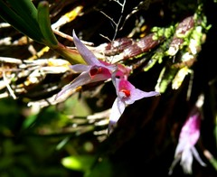 orchids at Max's Papau New Guinea (Pete Read) Tags: orchids maxs papau new guinea