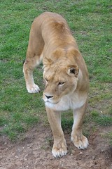 Lioness waiting for dinner (LadyRaptor) Tags: yorkshirewildlifepark yorkshire wildlife park doncaster ywp nature outdoors animal animals cute predator carnivore feline felines felidae cat cats bigcats lion lions lioness africanlion panthera leo pantheraleo lioncountry pride