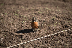20170405-AMS-LSC-2178 (USDAgov) Tags: usda departmentofagriculture usdepartmentofagriculture peoplesgarden nationalmall washington dc planting seed sprout tools soil garden transplant plant align spring coolweather bird
