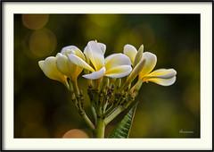Plumeria (J. Amorin) Tags: macro amorin macuspana canon10028macro canon7d flor flower plumeria plumbago auriculata capensis