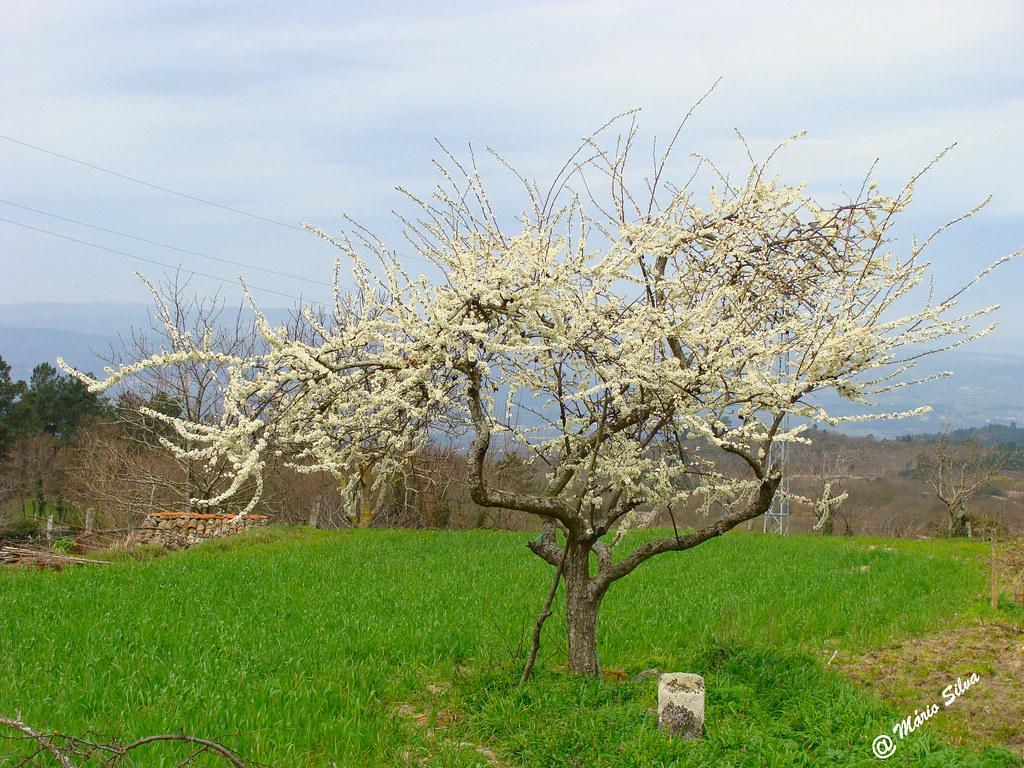 Águas Frias (Chaves) - ... árvore florida ...