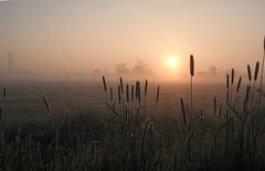 Moerenburg dawn (Schagie) Tags: holland landscape dawn zonsopkomst ochtendlicht druppels riet landschap dauw moerenburg brabant weilanden