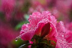 pluie de couleurs (christophe.laigle) Tags: rose colours xf60mm nature flower azalée droplets christophelaigle raindrop drops macro pink fuji couleurs xpro2 pluie fleur