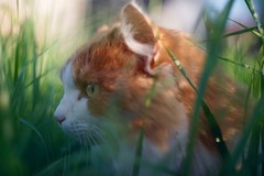 Haunting (fxdx, off for a few days :-)) Tags: haunting cat grass field a7 ilce7 m42 manual prime 44m4 helios