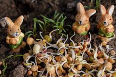 Macro Mondays - Seeds (benno.dierauer) Tags: macrounlimited macro macromondays seeds samen ostern easter garden garten hasen rabbits 70d