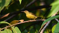 Olive-backed Sundbird (Cinnyris jugularis) (Steve Arena) Tags: cinnyrisjugularis olivebackedsundbird obsu sunbird sampranriverside thailand nakornpathom 2017 day0 thailandbirding2017 httpthailandbirding2017blogspotcom thailandhttpthailandbirding2017blogspotcom2017