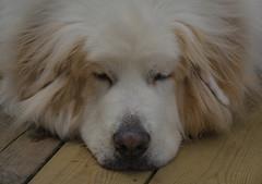 Afternoon nap (frankmh) Tags: animal dog nap helsingborg skåne sweden outdoor