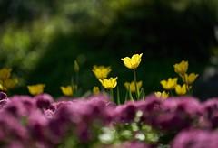 鬱金香 (Diego Chiu) Tags: 桃源仙谷 鬱金香 秋菊 fe 70200mm f28 gm bokeh flower sel70200gm sony gmaster tulip