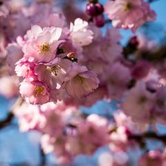 Zierkirschen-Blüte ein Traum in Rosa (p.schmal) Tags: panasonicgx80 hamburg farmsenberne frühjahr zierkirschen blüte