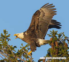 Bald Eagle lands at sunset Canon 5DSR (Mike Black photography) Tags: bald eagle bird nature canon 5dsr 800mm lens birding big year nj new jersey shore mike black photo photography is usm l body white feathers raptor prey yellow sky trees