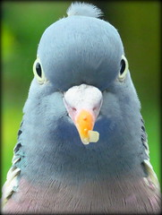Tufted Woody! (Deida 1) Tags: woodpigeon portrait tufted bird garden uk