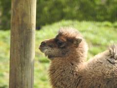 It's like talking to a post! (Sharon B Mott) Tags: camel calf babyanimal animal yorkshirewildlifepark april
