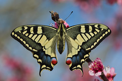 Papilio machaon (JoseDelgar) Tags: insecto mariposa papiliomachaon josedelgar coth naturethroughthelens coth5 alittlebeauty thegalaxy contactgroups fantasticnature thesunshinegroup sunrays5 macroelsalvador platinumheartaward natureselegantshots ngc npc thebestofmimamorsgroups onlythebestofflickr magicmomentsinyourlife magicmomentsinyourlifelevel3 magicmomentsinyourlifelevel4 panoramafotográfico friends