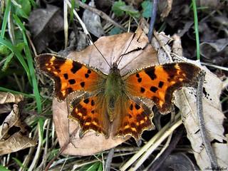 Butterfly 1200