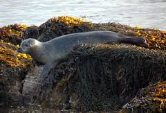 Seal (stuartcroy) Tags: orkney island sea sealife scotland scenery sony seal selkie seaweed