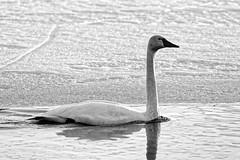 Laulujoutsen / Whooper Swan (Tuomo Lindfors) Tags: iisalmi suomi finland dxo filmpack myiisalmi lintu bird laulujoutsen whooperswan jää ice vesi water blackwhite porovesi järvi lake joutsen swan