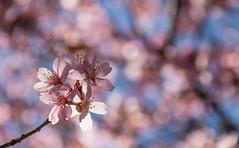 Spring blossom (Infomastern) Tags: trelleborg blom blomma blossom flower pink rosa spring vår exif:model=canoneos760d geocountry camera:make=canon exif:isospeed=100 camera:model=canoneos760d geostate geocity geolocation exif:lens=efs18200mmf3556is exif:focallength=200mm exif:aperture=ƒ80 exif:make=canon