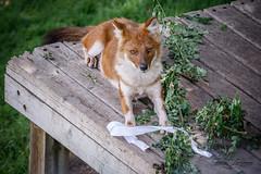 Ms Kono (ToddLahman) Tags: chinese dhole chinesedhole sandiegozoosafaripark safaripark canon7dmkii canon canon100400 wilddog dog mammal grass enrichment deck outdoors beautiful closeup