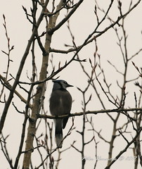 grey jay (phanmore) Tags: greyjay birds spring peterborough trentsevern