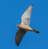 Kestrel (gazclarke2555) Tags: wildlife nature bop bif nikon 7200 kez