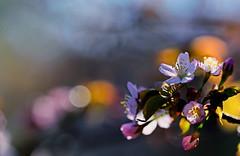 flower 1158 (kaifudo) Tags: sapporo hokkaido japan nikon d810 sigmaapomacro150mmf28 sigma 150mm macro 北海道 札幌 北海道知事公館 hokkaidogovernor'sofficialresidence 桜 サクラ エゾヤマザクラ 春 flower sakura