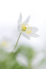 Anemone nemorosa (xipevideo) Tags: anemone white dreamy dof bokeh nikon d600 lensbaby composer pro sweet50 highkey woodanemone composerpro