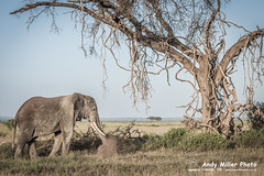 20160216-18-12-11_B017340 2000px (ajm057) Tags: 8takenusing africa africanelephantloxodontaafricana africanbushelephantloxodontaafricana amboselinationalpark andymillerphotolondonuk elephantidaeelephants kenya loxodonta mammal nikond810 proboscideaelephants reservesparks wildlifephotography african elephant