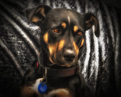 My mate Joe (Kevin_Jeffries) Tags: hound dog joe nikon nikkor portrait kevinjeffries d7100 workingdog huntaway animal pet canine expression