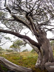 "Snowgums I • <a style=""font-size:0.8em;"" href=""http://www.flickr.com/photos/44919156@N00/33605654681/"" target=""_blank"">View on Flickr</a>"