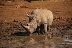Mighty Rhino (crafty1tutu (Ann)) Tags: travel holiday 2016 southafrica africa african animal rhinoceros pilanesberggamepark pilanesberg free roamingfree wild inthewild crafty1tutu canon5dmkiii ef100400mmf4556lisiiusm anncameron naturethroughthelens naturescarousel coth ngc naturesgoldencarousel