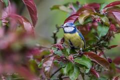 Blue tit (dave_poth) Tags: