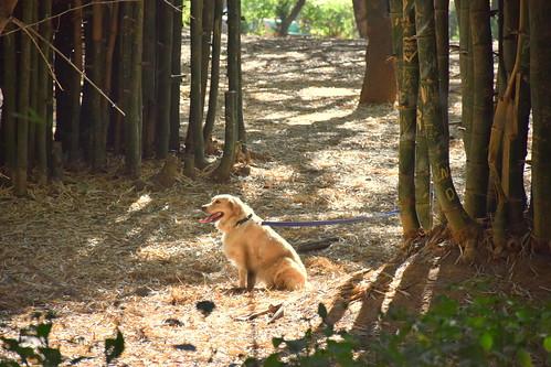 A Golden Retriever dog - sitting