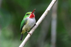 Puerto Rican Tody - Todus mexicanus (Roger Wasley) Tags: puerto rican tody todus mexicanos endemic bird rare west indies greater antilles caribbean neotropical rainforest jungle neotropic