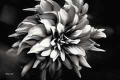 Shades of Grey! (traptiantiwary) Tags: flower flowercloseup gardenflower flowerpetals blackandwhite flora bonsai nature canon canoneos blackandwhiteflowers