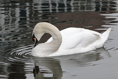 reflections of ripples on the neck of the swan (I was blind now I see!) Tags: swan white water river ripples neck beak long feathers droplets reflections