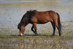 Paard (Equus ferus caballus) (eric zijn fotoos) Tags: animal holland landscape nature dier natuur sonyrxiii sonyrx10111 sonyrx10m3 nederland landschap