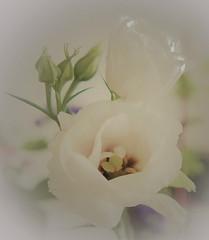 Sweet memory (louise peters) Tags: lisianthus eustoma flower bloem vignette bud flowerbud bloemknop stamen meeldraden pistel stamper macro makro