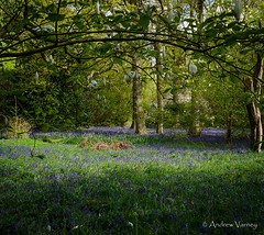 109/365 Bluebell Woods (andrew.varney) Tags: bluebells plants surrey flowers outside outdoors spring seasons nikon nature nationaltrust d5100 365