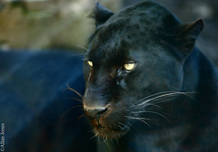 Black Leopard (Allan Jones Photographer) Tags: bigcat blackleopard exmoorzoo allanjonesphotographer panther blackpanther canon5d3 canonef135mmf2lusm bokeh photospassionoftheworld