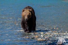 Grizzly Approaching (fascinationwildlife) Tags: animal mammal wild wildlife nature natur kanada canada bc british coil river salmon fish predator young bear brown grizzly bär braunbär water fall autumn columbia