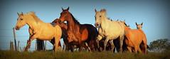 Aporreados (Eduardo Amorim) Tags: cavalos caballos horses chevaux cavalli pferde caballo horse cheval cavallo pferd cavalo cavall 馬 حصان 马 лошадь crioulo criollo crioulos criollos cavalocrioulo cavaloscrioulos caballocriollo caballoscriollos pôrdosol poente entardecer poniente atardecer sunset tramonto sonnenuntergang coucherdesoleil crepúsculo anoitecer pelotas costadoce riograndedosul brésil brasil sudamérica südamerika suramérica américadosul southamerica amériquedusud americameridionale américadelsur americadelsud brazil eduardoamorim