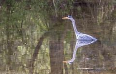 9Q6A5468 (2) (Alinbidford) Tags: alinbidford alancurtis brandonmarsh greyheron greylaggoose snipe moorhen yellowwagtail