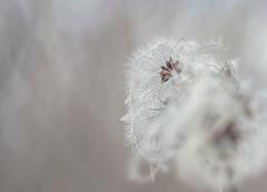 (C-47) Tags: helios helios442 7dmarkii colors white nature mothernature plants flowers flowersandcolors fleur blanc soft bokeh