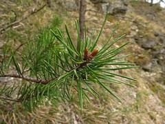 fresh pine green (germancute) Tags: nature outdoor kanzel plant wildflower flower blume landscape landschaft thuringia thüringen germany germancute wald wiese