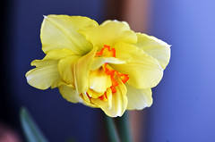 Daffodil in the wind (Pensive glance) Tags: daffodil narcissus jonquille narcisse flwoer fleur plant plante