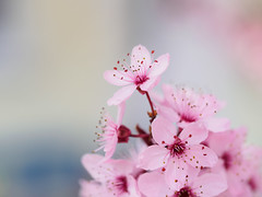 Sakura Bavariae (3) (Karsten Gieselmann) Tags: 60mmf28 baum blüten bokeh bäume dof em5markii farbe frühling jahreszeiten kirschblüte mzuiko microfourthirds natur olympus pflanzen rosa schärfentiefe color kgiesel m43 mft nature pink seasons spring tree trees